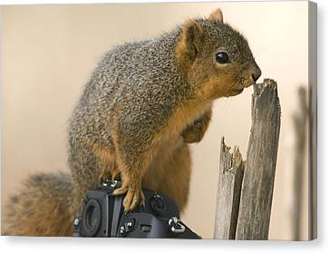 A Fox Squirrel Sciurus Niger Sits Canvas Print