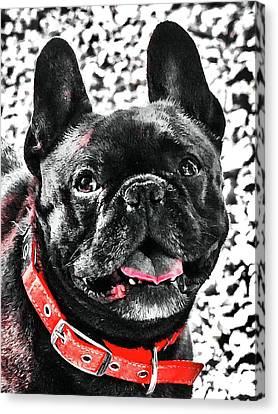 A French Bully Canvas Print