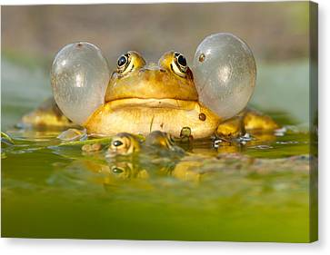 Frog Canvas Print - A Frog's Life by Roeselien Raimond