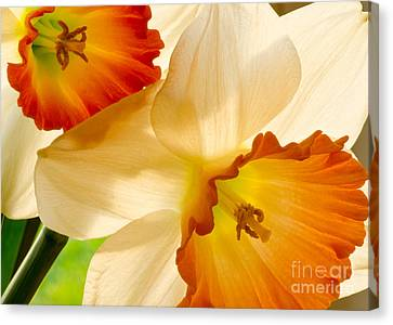 A Full Frame Of Daffy's Canvas Print by Nick  Boren