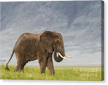 Canvas Print featuring the photograph A Gentle Giant by Sandra Bronstein