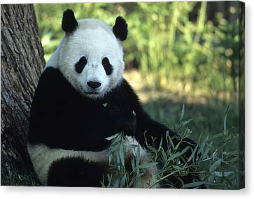 A Giant Panda Eating Bamboo Canvas Print by Taylor S. Kennedy