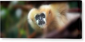 A Gibbon's Stare Canvas Print by Greg Slocum