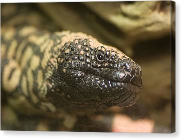 A Gila Monster From The Henry Doorly Canvas Print by Joel Sartore