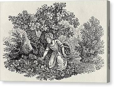 Gathering Canvas Print - A Girl Gathering Flowers by Thomas Bewick