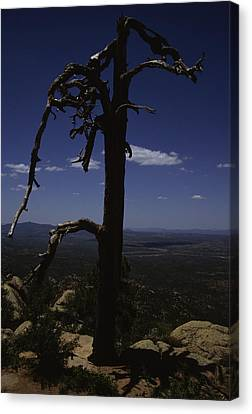 A Gnarled Tree In Arizona Canvas Print by Stacy Gold