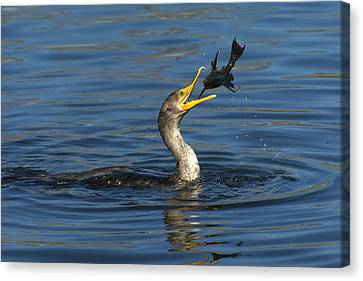 Double-crested Cormorant Canvas Print - A Good Toss by Fraida Gutovich