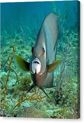 A Gray Angelfish In The Shallow Waters Canvas Print by Michael Wood