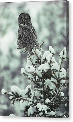 A Great Gray Owl Strix Nebulosa Perches Canvas Print by Tom Murphy