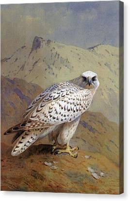 A Greenland Or Gyr Falcon Canvas Print