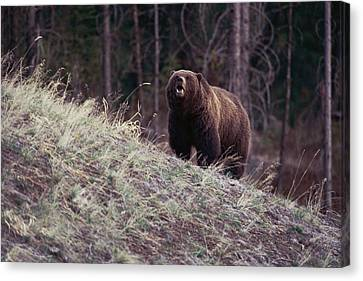 A Grizzly Bear Approaching The Crest Canvas Print by Bobby Model