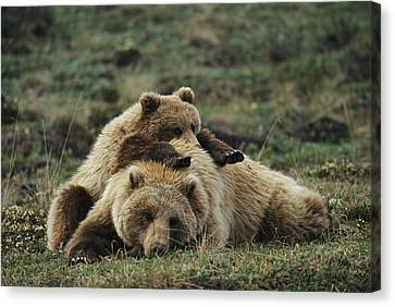 A Grizzly Bear Cub Stretches Canvas Print by Michael S. Quinton