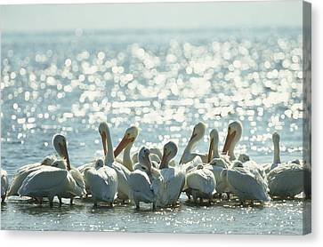 Cosmic And Atmospheric Phenomena Canvas Print - A Group Of American White Pelicans by Klaus Nigge