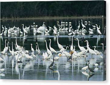 A Group Of Egrets, Herons,  Ibises Canvas Print by Klaus Nigge