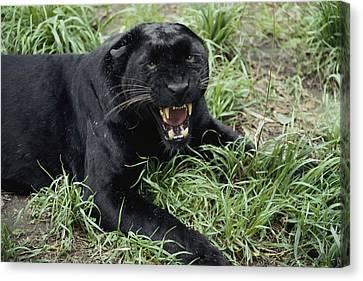 A Growling Captive Black Leopard Canvas Print by Jason Edwards