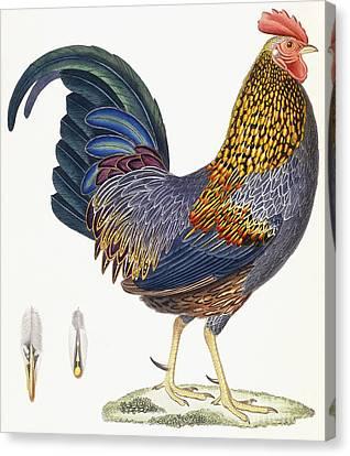 A Hen Canvas Print