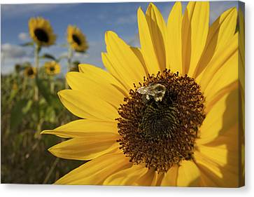 A Honey Bee Visiting A Sunflower Canvas Print by Tim Laman