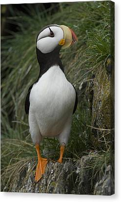 A Horned Puffin Canvas Print by Michael S. Quinton