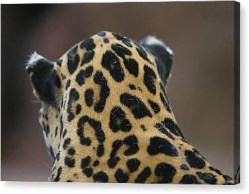 Henry Doorly Zoo Canvas Print - A Jaguar At Omahas Henry Doorly Zoo by Joel Sartore