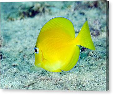 A Juvenile Blue Tang Searching Canvas Print by Terry Moore