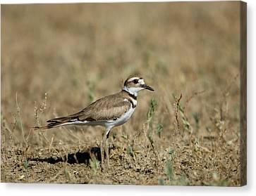 A Killdeer In Eastern Montana Canvas Print by Joel Sartore