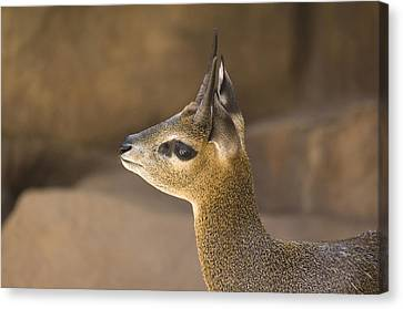 Henry Doorly Zoo Canvas Print - A Klipspringer At  The Henry Doorly Zoo by Joel Sartore