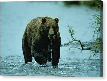A Kodiak Brown Bear Ursus Middendorfii Canvas Print