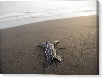 A Leatherback Sea Turtle Hatchling Canvas Print by Joel Sartore