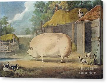 A Leicester Sow Canvas Print by William Henry Davis