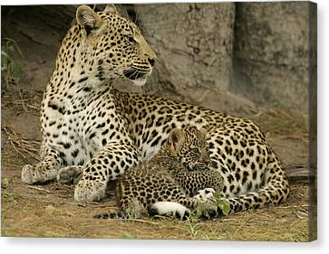A Leopard Cub With Her Mother Canvas Print by Beverly Joubert