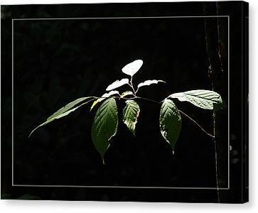 A Light In The Forest Canvas Print