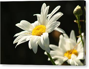 A Little Less Than Perfect Sunshine Daisy  Canvas Print by Cathy  Beharriell