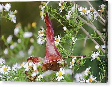 A Lone Red Leaf Resting On Shasta Daisy Flowers Canvas Print by Rick Grossman
