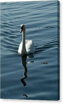 A Lone Swan Swims Through The Water Canvas Print