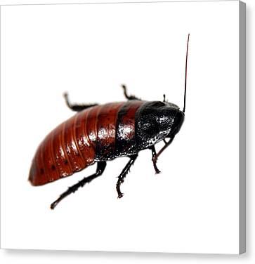 A Madagascar Hissing Cockroach Canvas Print by Michael Ledray