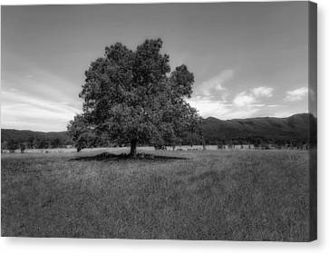 Tennessee Historic Site Canvas Print - A Majestic White Oak Tree In Cades Cove - 2 by Frank J Benz
