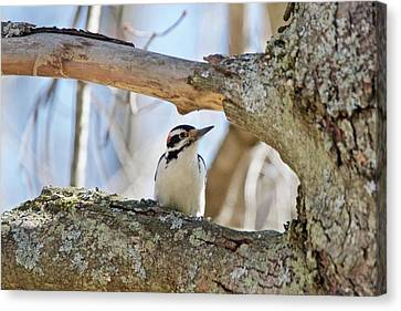 Canvas Print featuring the photograph A Male Downey Woodpecker  1111 by Michael Peychich