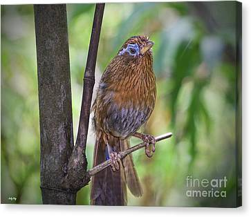 A Melodious Thrush Canvas Print by Judy Kay