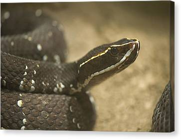 A Mexican Cantil Viper At The Henry Canvas Print by Joel Sartore