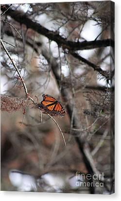 A Monarch For Granny Canvas Print