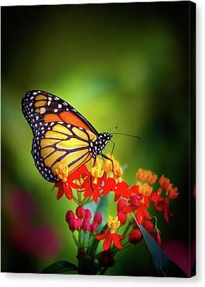 A Monarch In The Garden Canvas Print