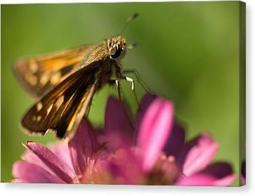 A Moth Feeds On A Zinnia Flower Canvas Print