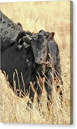A Mother's Love Black Cow And Calf Canvas Print by Jennie Marie Schell
