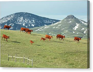A Moving Herd Canvas Print by Todd Klassy