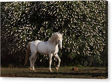 A Mustang Stallion In The Wild Horse Canvas Print by Melissa Farlow