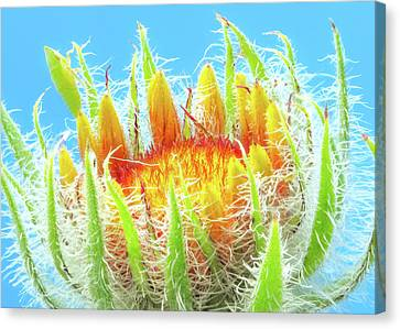 Indigenous Canvas Print - A New  Blanketflower Begins To Open by Jim Hughes