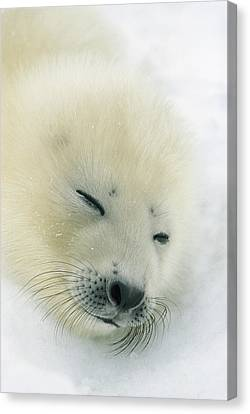 A  Newborn Harp Seal Pup In Its Thin Canvas Print by Norbert Rosing