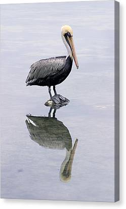 A Noble Bird Is The Pelican Canvas Print