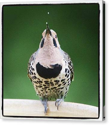 A Northern Flicker Blowing Bubbles At Canvas Print by Heidi Hermes