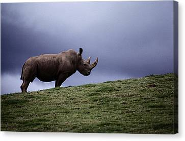 A Northern White Rhinoceros At The San Canvas Print by Michael Nichols